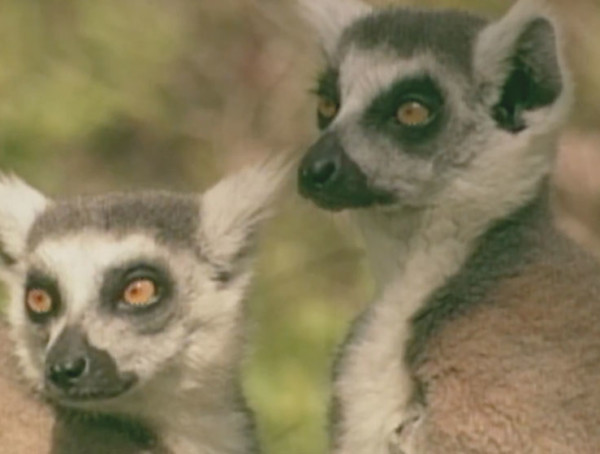 PBS – A World Apart – Lemurs